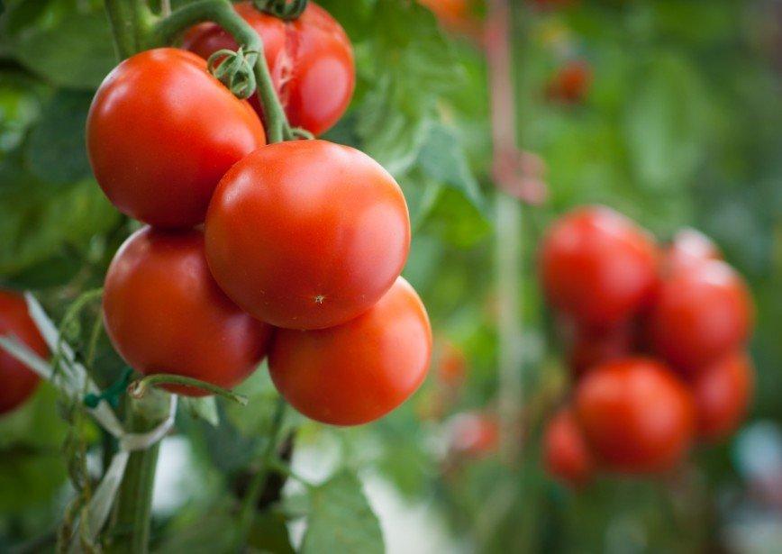 Выращивание томатов и помидоров 142
