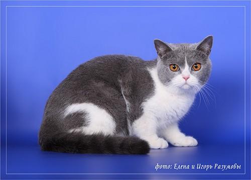White british shorthair cat