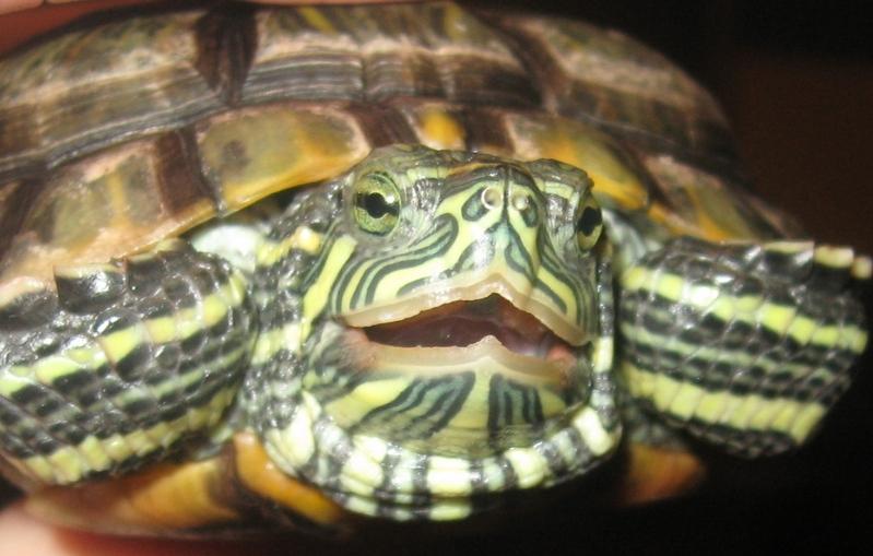 Можно ли сажать маленьких черепах к большим 5875