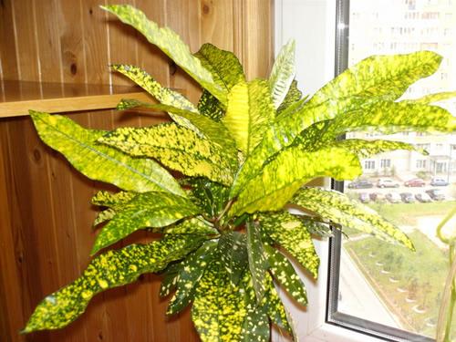 Комнатные цветы с зелено желтыми листьями