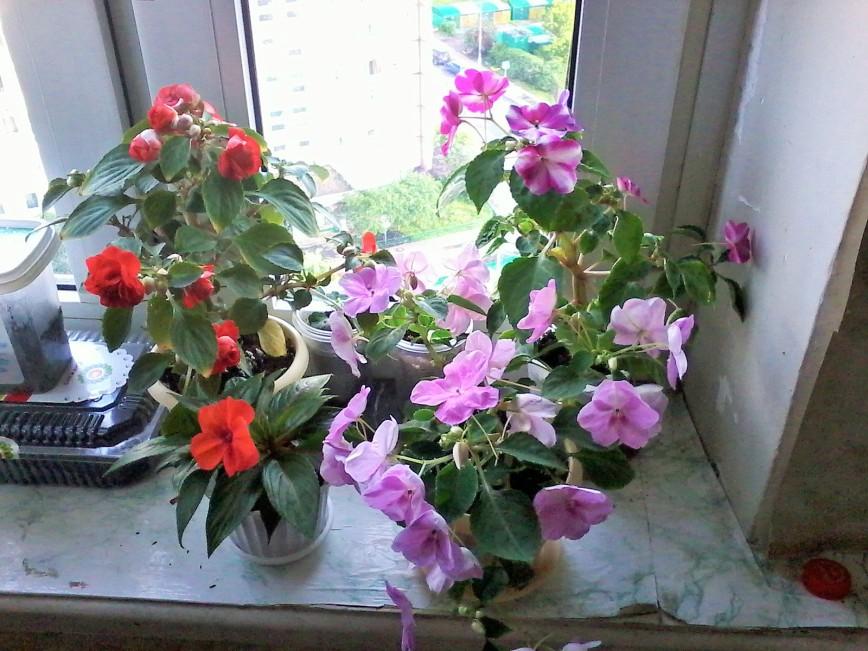 Махровые комнатные цветы