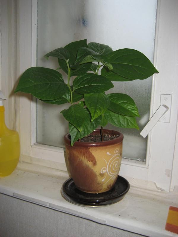 Как в домашних условиях выращивать хурму в 749