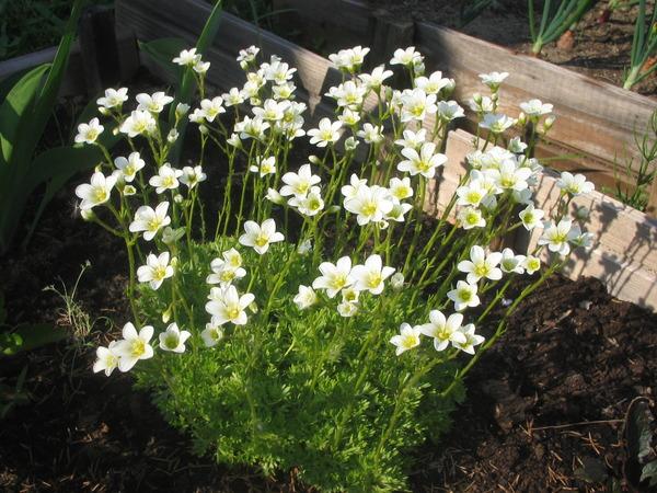 Мох с белыми цветами