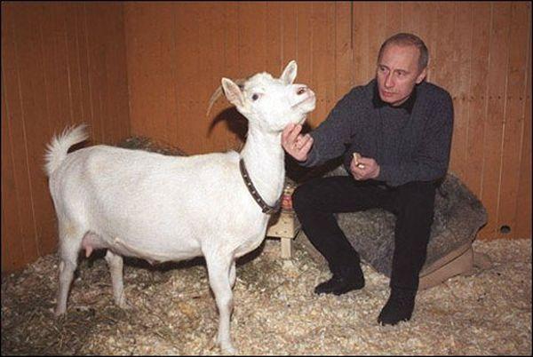 Как кастрировать козлов в домашних условиях