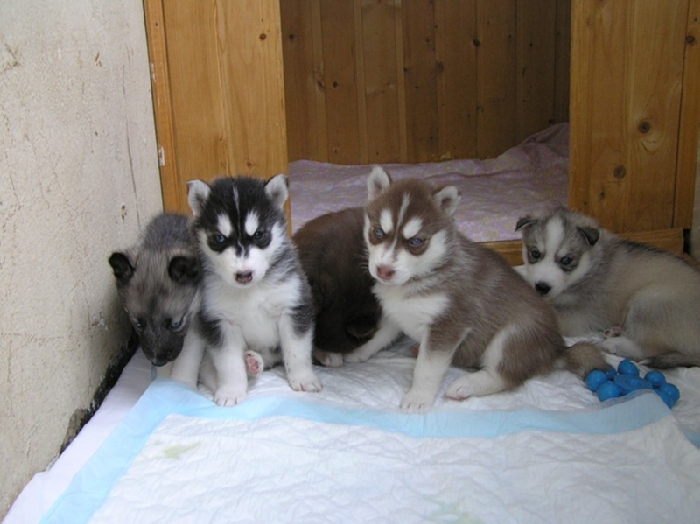 Лайки - википедия -самоед или самоедская лайка: фото собаки и цена, порода склонна к линьке