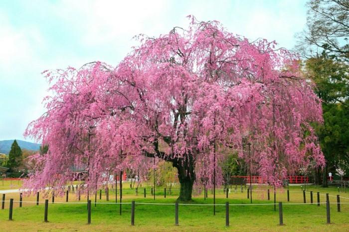 Arbol de cerezo