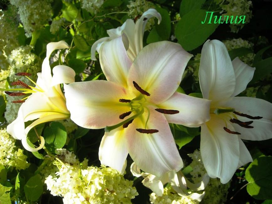 Все дачные цветы в