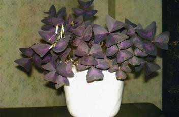 Комнатный цветок который закрывается на ночь