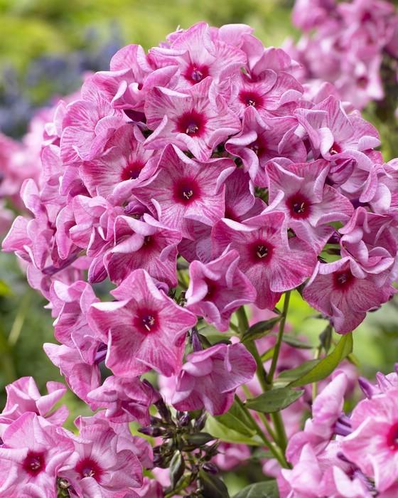 флокс  цветов