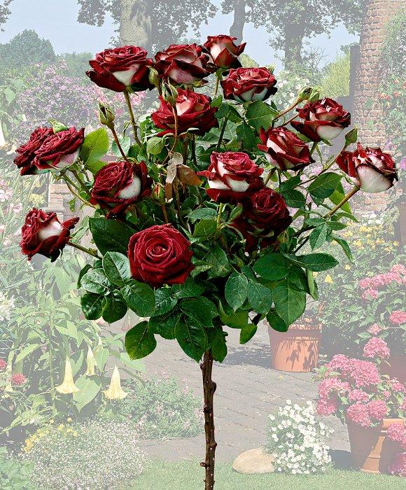 розы сорта