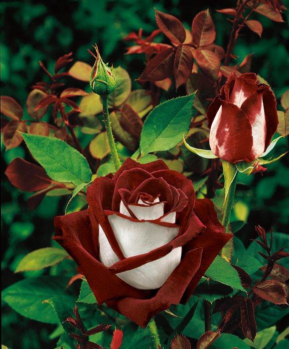 виды розы фото и названия