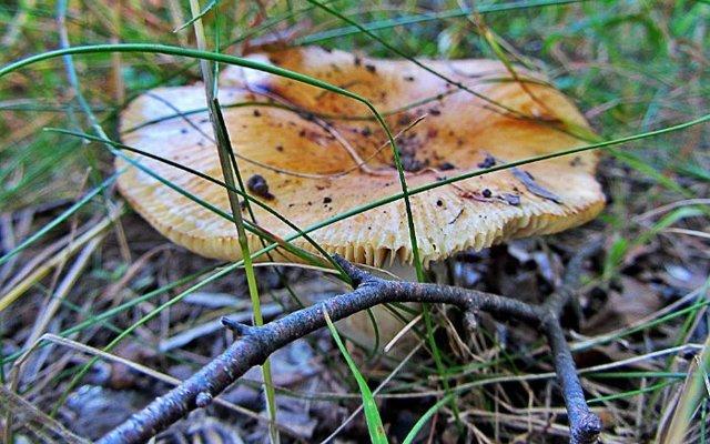 грибы паразиты человека википедия