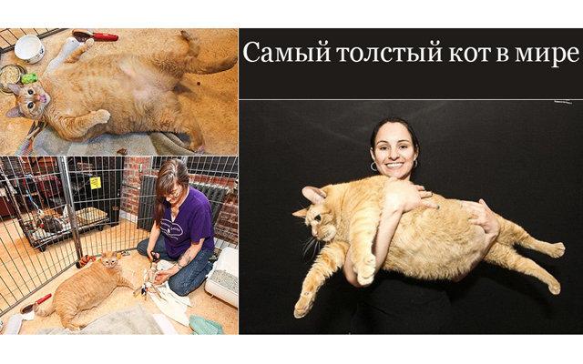 Самый толстый кот в мире: 2. Следующий домашний питомец это Rupert, вес которого чуть больше 9 кг, при этом он не является жирным котом. Он