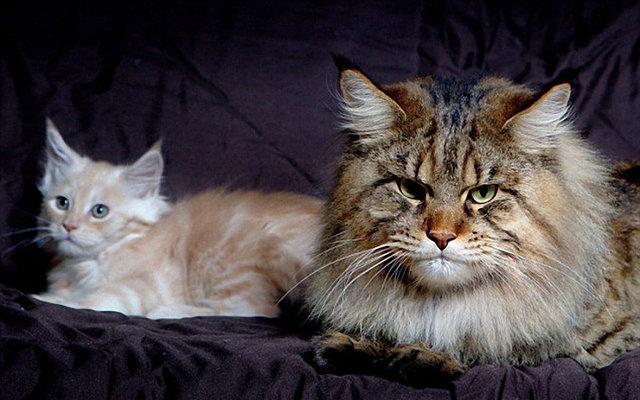 Самый толстый кот в мире: 3. А вот этот кот весит 19.25 кг, живет он вместе со своей хозяйкой в Дании. Большую часть своего времени