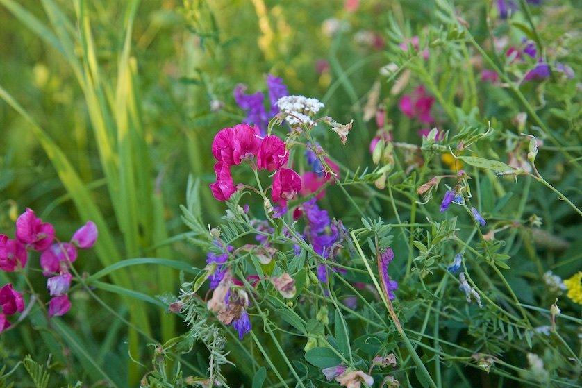 Полевые цветы: Особенно много колосистой травы и цветов росло около старых пней. Трухлявые эти пни разваливались от легкого толчка ногой.