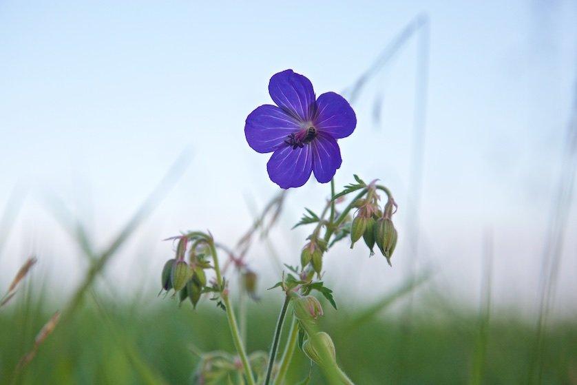 Полевые цветы: Потом из норы под пнем вылезал заспанный – черный с золотом – шмель и, гудя, как самолет, взлетал, норовя щелкнуть