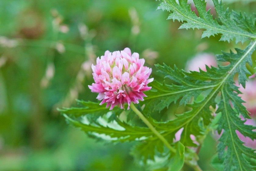 Полевые цветы: Нежны и сладки их тонкие запахи,  Листья и стебли полны красоты.