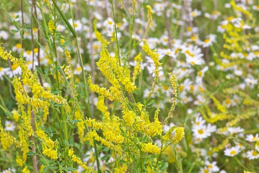 Полевые цветы: Есть на полях моей родины скромные  Сестры и братья заморских цветов: