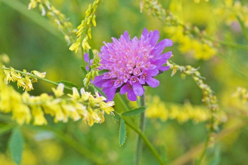 Полевые цветы: Куда ни глянь, цветы вокруг,   Да по колено травы.