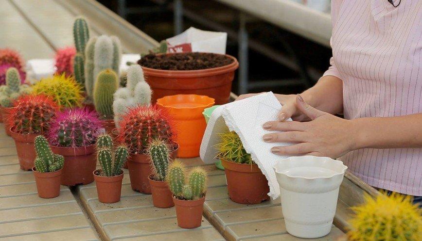 Как пересадить кактус и не уколоться