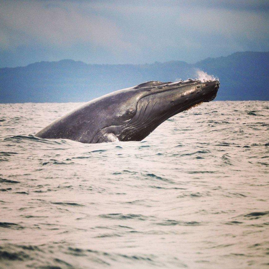 В Доминикане близится сезон наблюдения за горбатыми китами