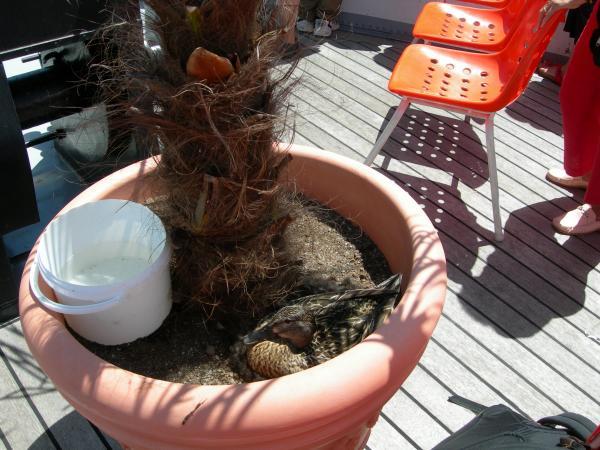 Это - утка. Она живет на прогулочном пароходике в горшке с пальмой. Не просто живет - высиживает утят! Вы себе представляете, что такое туристский пароходик? А она сидит на гнезде.