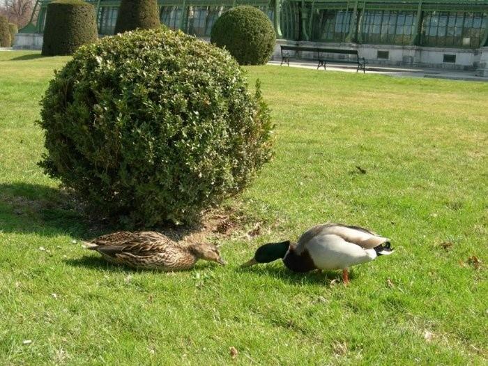 по парку вовсю шарятся уточки...