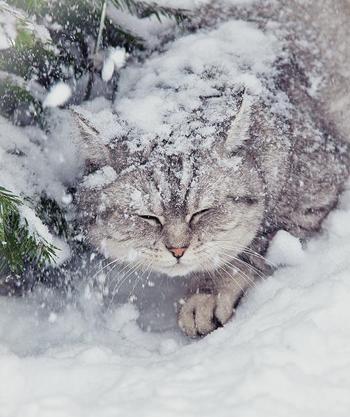 Автор: Танютка ☀☀, Фотозал: Домашние питомцы, Снежный кот :)