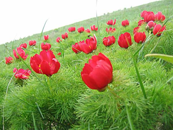 Поле цветущих диких пионов