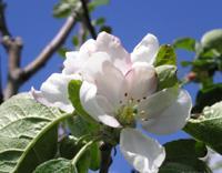 Антоновская яблоня