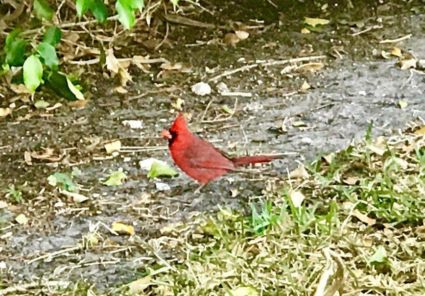 Автор: phonix, Фотозал: Я - очевидец, Красный кардинал