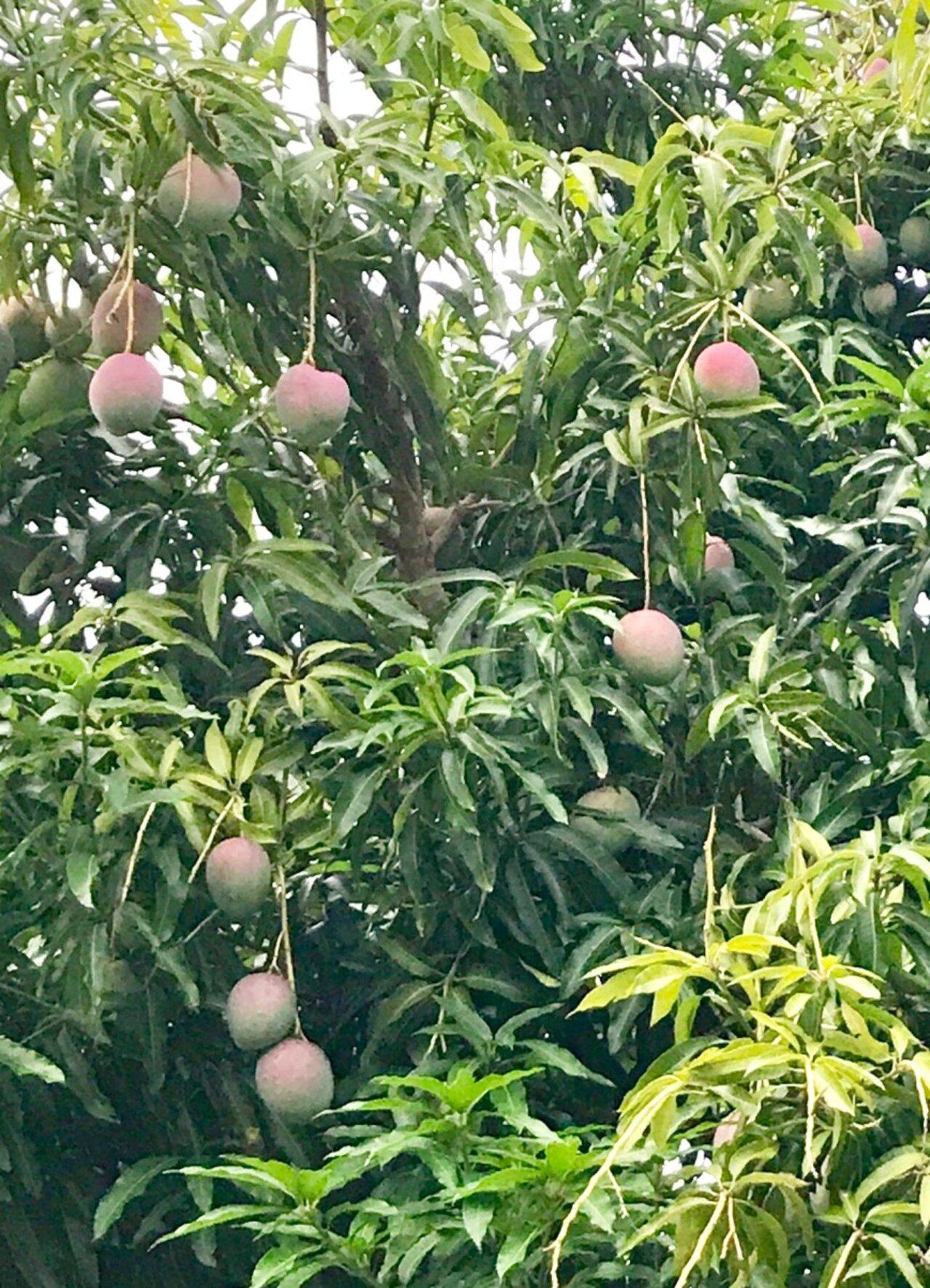 phonix Вкусные и сочные плоды манго