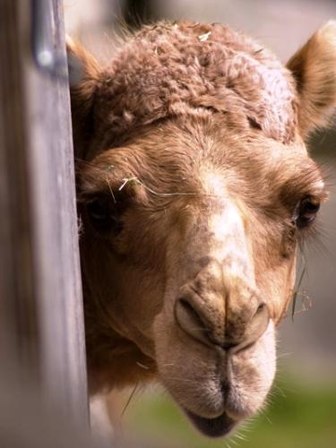 Как сургутянин укротил верблюда и выжил в «мертвой» пустыне | 500x375
