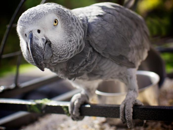 Картинки по запросу Алекс — африканский серый попугай
