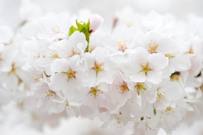 Цветущие деревья, которыми невозможно налюбоваться