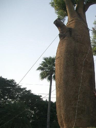 Автор: МAlina ♥, Фотозал: Туристические зарисовки, Адения - бутылочное дерево