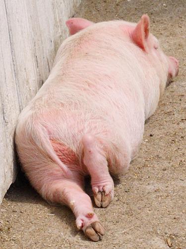 картинка копыта свинки атрибутику