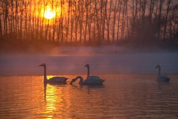 Двух обнявшихся в полете лебедей сняла фотограф с Алтая