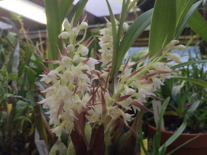 В «Аптекарском огороде» расцвела редкая орхидея с ароматом вишни в шоколаде