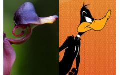 Орхидея летающая утка