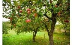 Шесть основных причин болезней плодовых деревьев