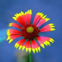 Цветные цветы: Двухцветные http://eva.ru/fun-and-fun/contest/contest-result.xhtml?contestId=3733