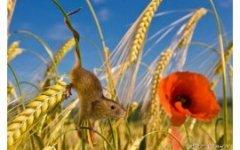 Один день из жизни полевых мышей