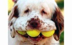 Собаки и теннисные мячики