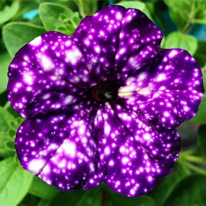 Космические петунии - звезды в вашем саду