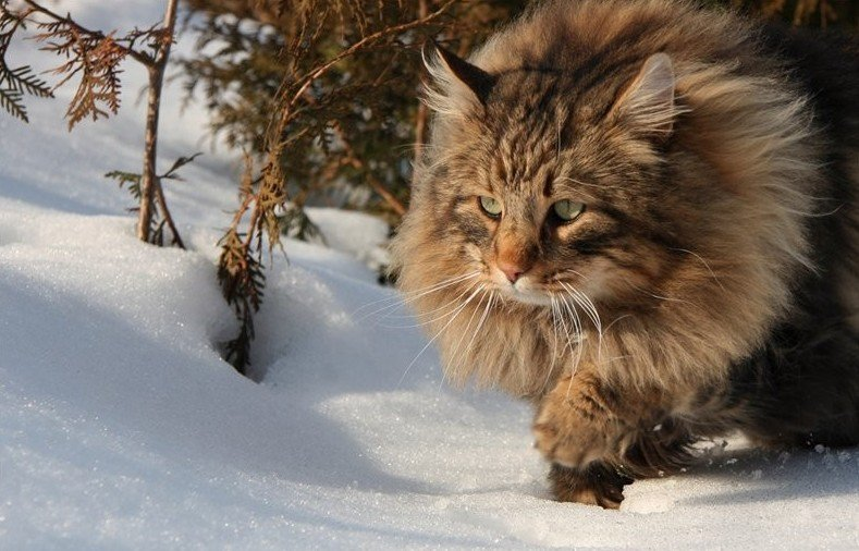 Шуба на зависть: 6 самых пушистых пород кошек