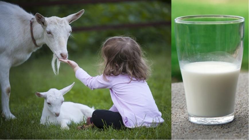Всегда в наличии козье молоко. Свежее, около 2 литров в день