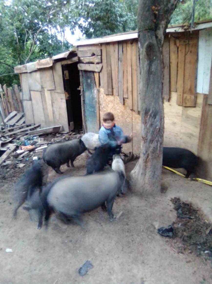 Миша и свиньи