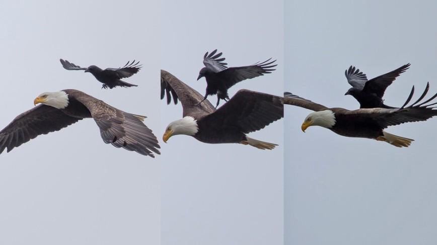 Фотограф сделал фотографию ворона, летящего на спине у орла