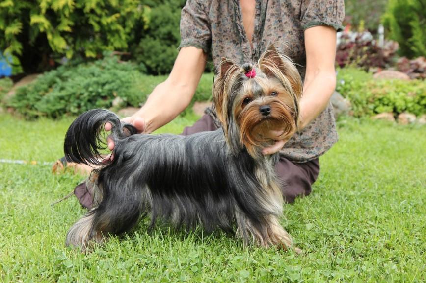 Басенджи: собака, которая не умеет лаять